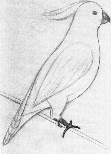 Golden Crested Cockatoo - pencil sketchSimple Pencil Sketches For Beginners